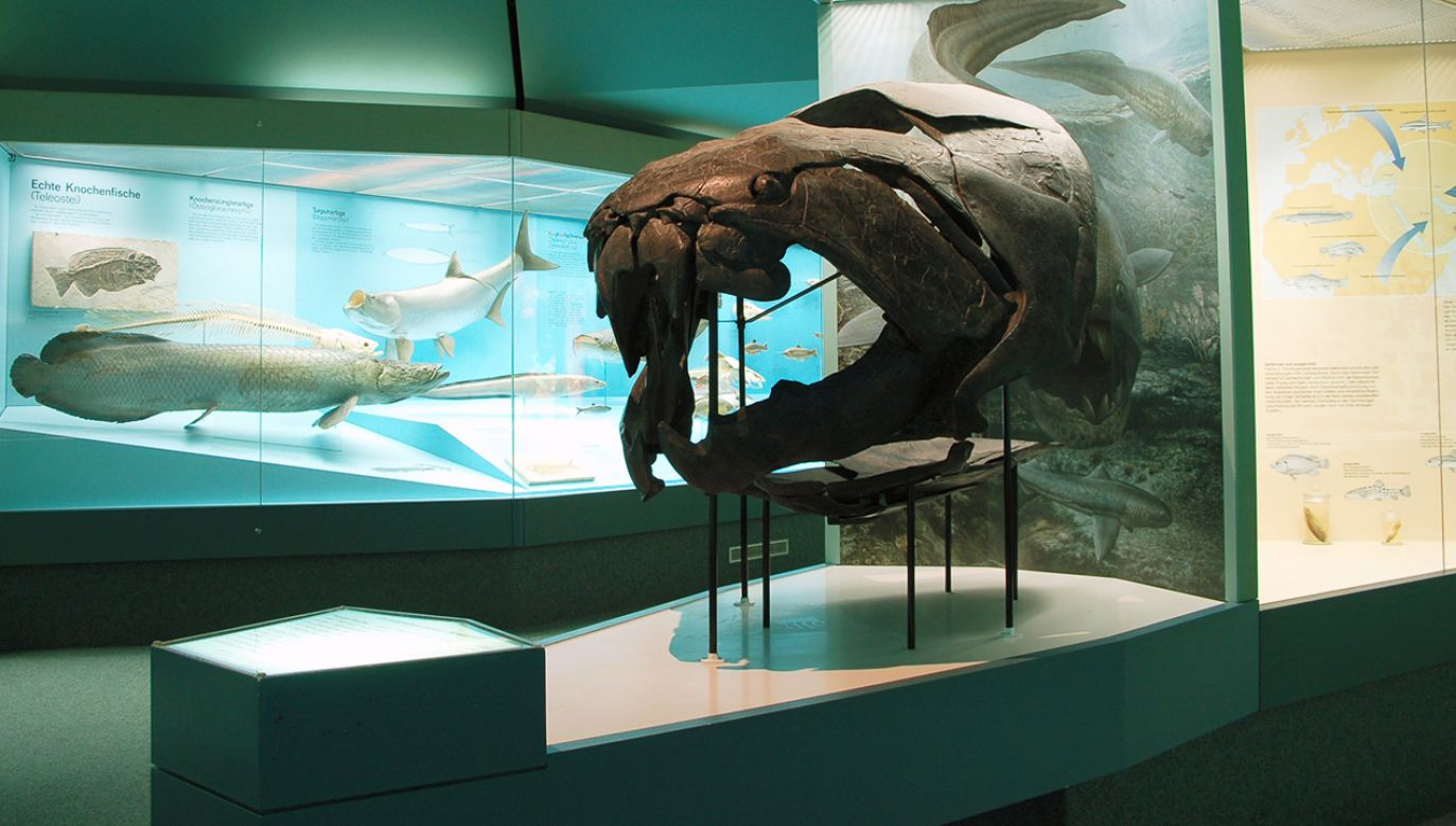 """Okaz zachowanych fragmentów Dunkleosteus w """"Senckenberg Museum"""" we Frankfurcie nad Menem (fot. pl.wikipedia.org)"""