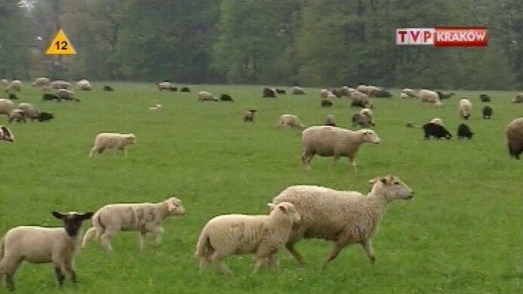 Mimo ogromnego upału owce mają się bardzo dobrze