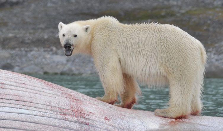 Niedźwiedź polarny – ikona Arktyki.  Na zdjęciu żeruje na martwym wielorybie.