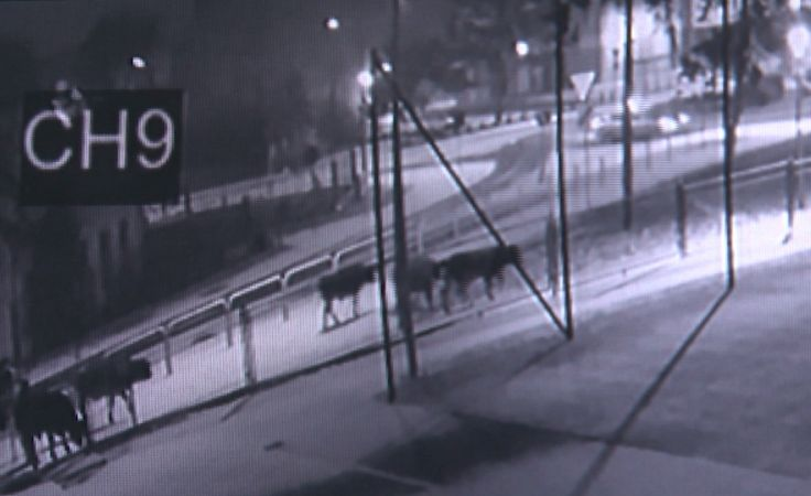 Zwierzęta zauważono w pobliżu ul. Sienkiewicza (fot. monitoring SP1)