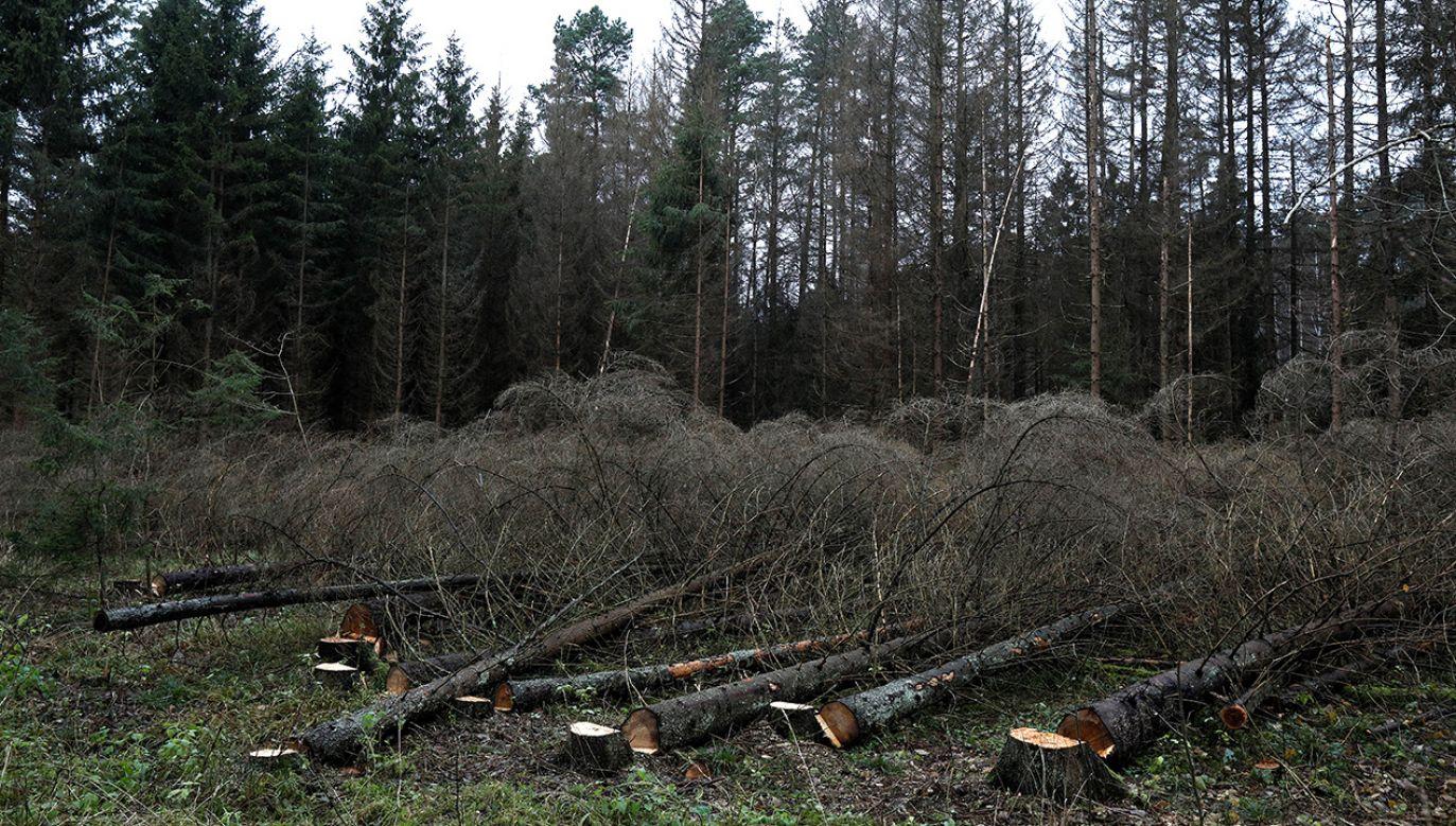 Wycinka drzew (fot. PAP/Artur Reszko)