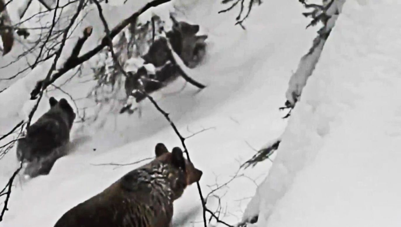 Przebudzony niedźwiedź jest głodny i może być niebezpieczny dla ludzi (fot. TVP info)