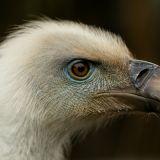 ... czy sęp płowy, który stracił skrzydło podczas przelotu nad naszym krajem (fot. M. Wąsiński)