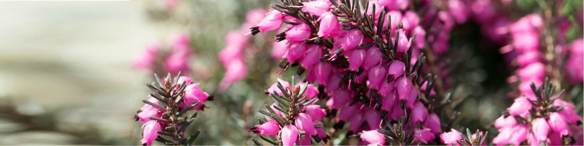 Zwiastun wiosny