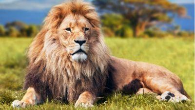 Rodzinne oglądanie - Przeprowadzka lwów