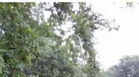 Wyrwane z korzeniami drzewo w Środzie Wielkopolskiej (fot.Twoje Info/Daria)