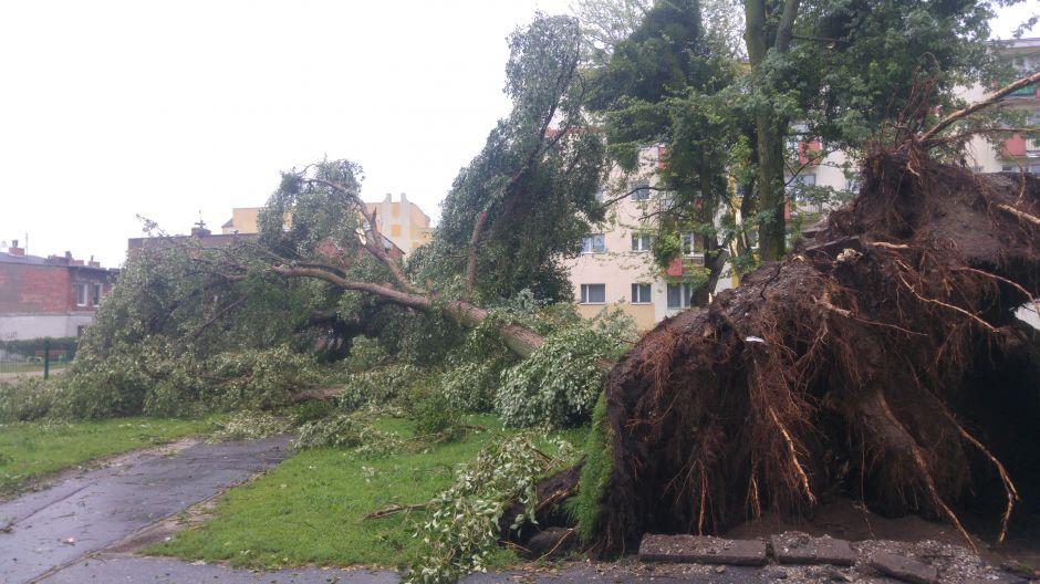 Drzewo wyrwane z korzeniami przy ul. Ugory 27 na bydgoskim Szwederowie (fot. Tomasz Wiland)