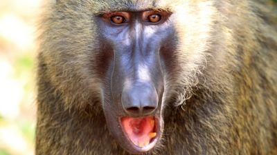 Natura w Jedynce - Cudowny świat przyrody. Siła czy dobroć? Pawiany oliwkowe. Kenia.