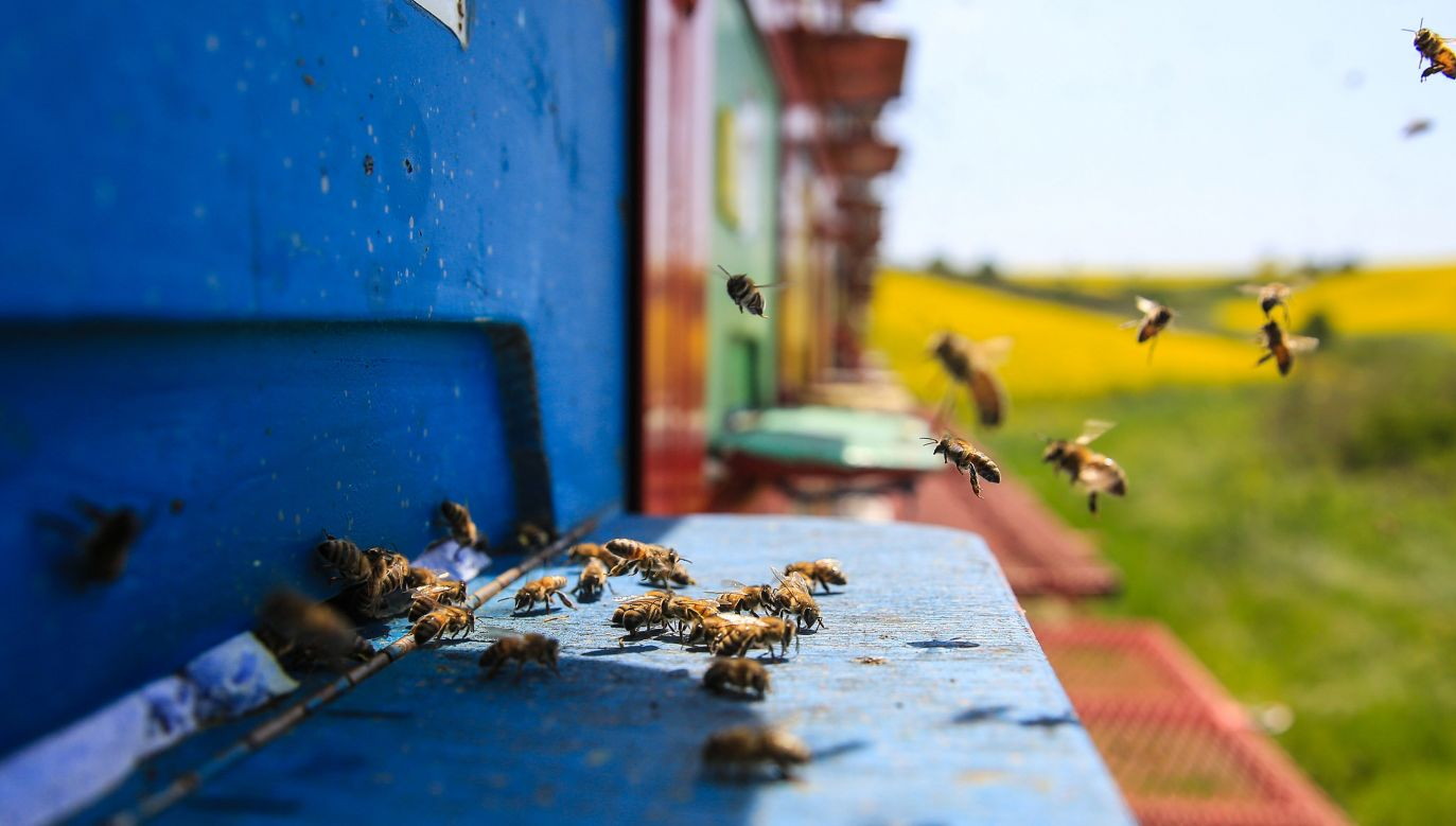 W Polsce ruszają badania nad naturalnymi metodami zwiększenia odporności pszczół (fot. Salih Zeki Fazlioglu/Anadolu Agency/Getty Images)
