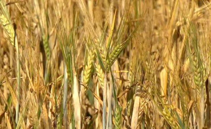Na Warmii i Mazurach susza objęła prawie 490 tys. hektarów upraw
