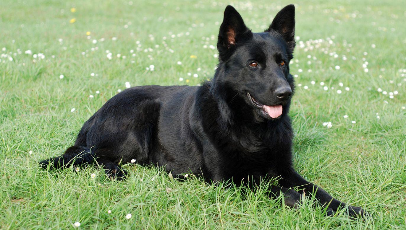 Psy dzięki swemu wyczulonemu węchowi są w stanie wykryć raka na bardzo wczesnym etapie (fot. Shutterstock/ kitty)
