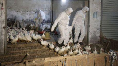 Testy po komercyjnym wdrożeniu mogą być przydatne w laboratoriach diagnostycznych kontrolujących hodowle drobiu