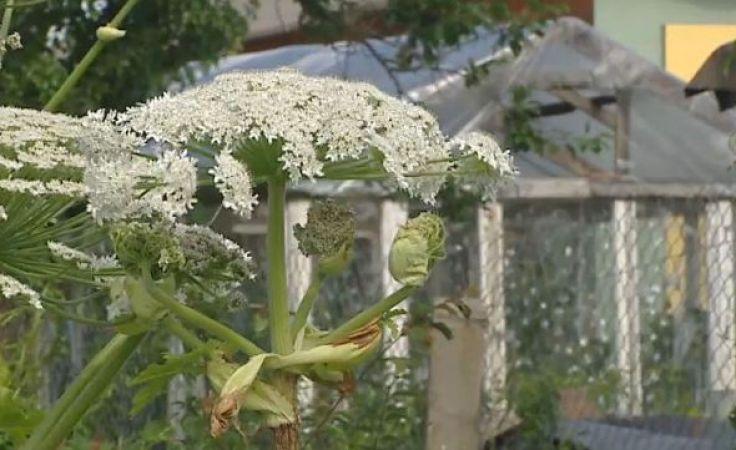 Niebezpieczna dla zdrowia roślina znów daje znać o sobie