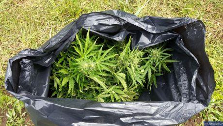 Zabezpieczyli 6,5 kg marihuany i 260 krzaków konopii