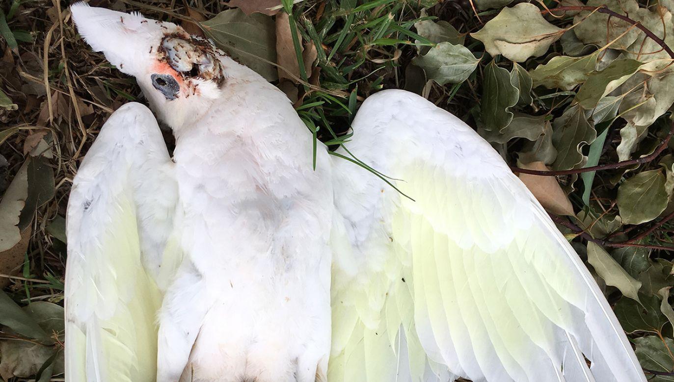 Środek chemiczny zabił setki kakadu (fot. Shutterstock/EdgeOfButter)