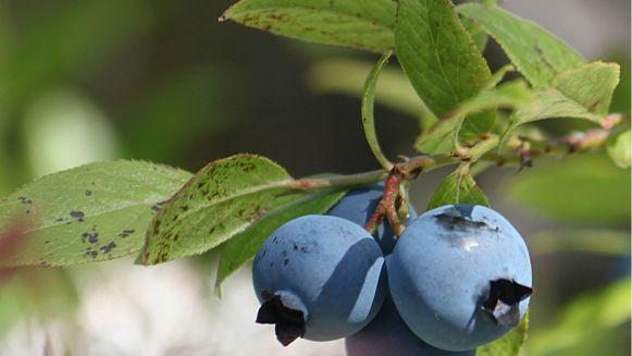 czarna-jagoda-borowka-amerykanska