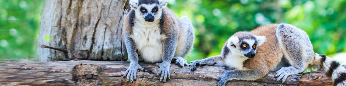Pieszczoch z Madagaskaru