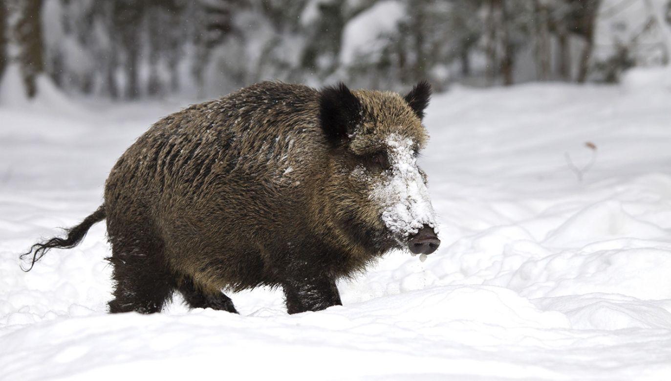 Dzikie zwierzę wtargnęło do kościoła (fot. Shutterstock/Bildagentur Zoonar GmbH)