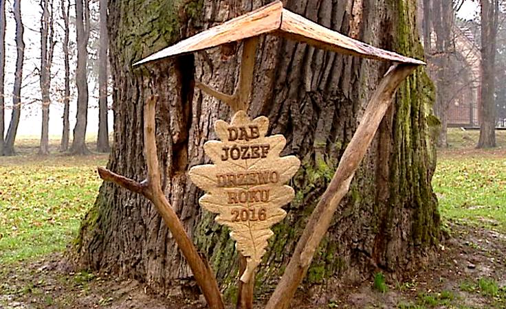 Dąb Józef z Wiśniowej Europejskim Drzewem Roku