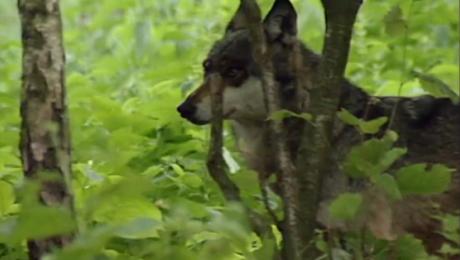 Populacja wilków na Warmii i Mazurach jest oceniana na około 130 osobników