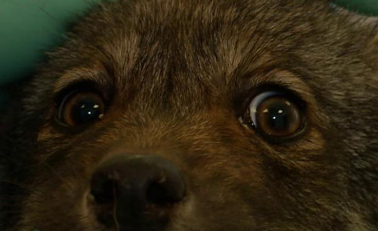 Młody wilczek niecodzienny pacjent w przemyskiej klinice