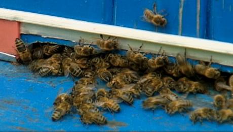Opryski i wycinka akacji przyczyną masowego ginięcia pszczół