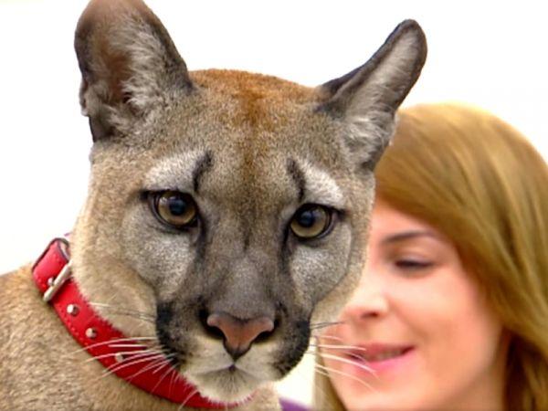 Puma u weterynarza