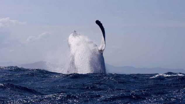 Technologia ma pomóc uniknąć kolizji m.in. z wielorybami (fot. Transparentsea via Getty Images)