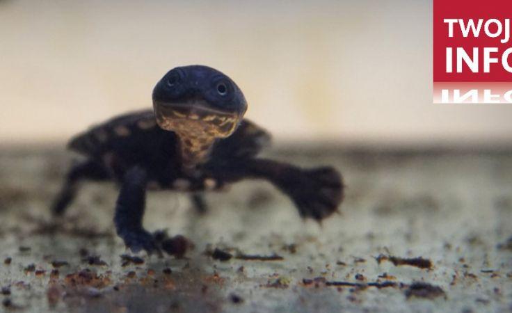 Żółwie te to drapieżniki. Młode żywią się m.in. krylem i larwami komarów, natomiast starsze głównie dżdżownicami  (fot. Twoje Info)