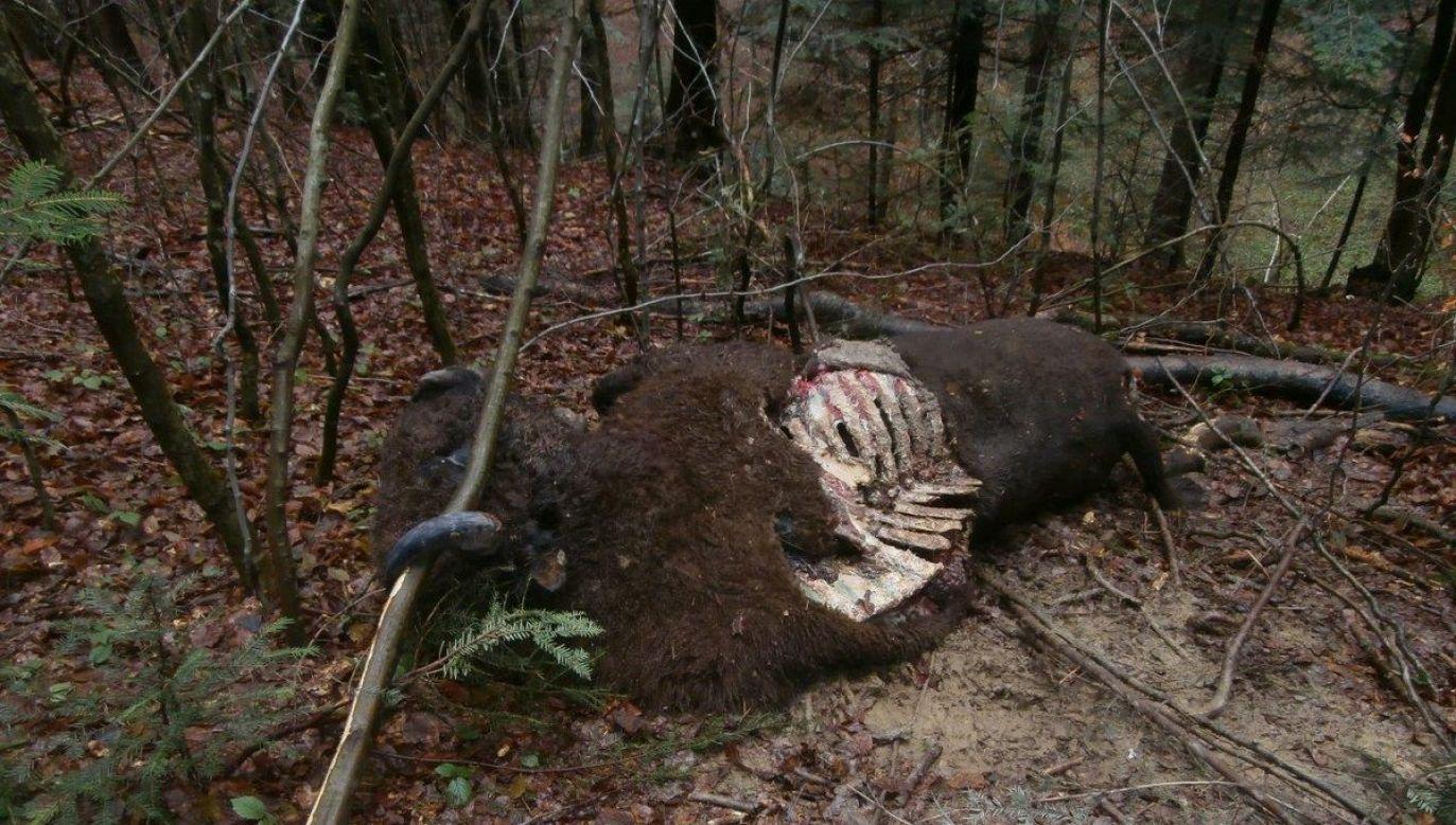 Na atak niedźwiedzia, oprócz charakteru obrażeń żubrów, wskazują tropy drapieżnika i ślady legowiska (fot. www.krosno.lasy.gov.pl)