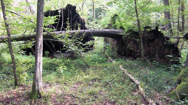 Umierające drzewa mogą stanowić zagrożenie dla ludzi (fot. Leszek Jańczuk)