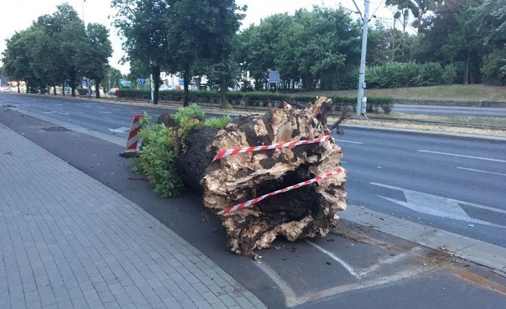 Drzewo przewróciło się na Czerwonej Drodze w Toruniu