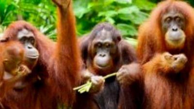Małpy bez tajemnic, cz. 3 – Sprawny umysł
