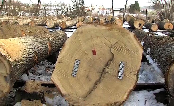 1. Jawor najcenniejszy na brzozowskiej submisji drewna