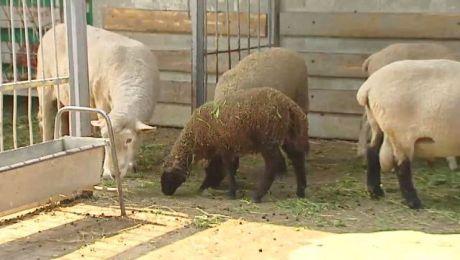 Ministerstwo Rolnictwa chce odbudowy polskiego owczarstwa