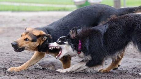 Groźne psy na gdańskich Stogach