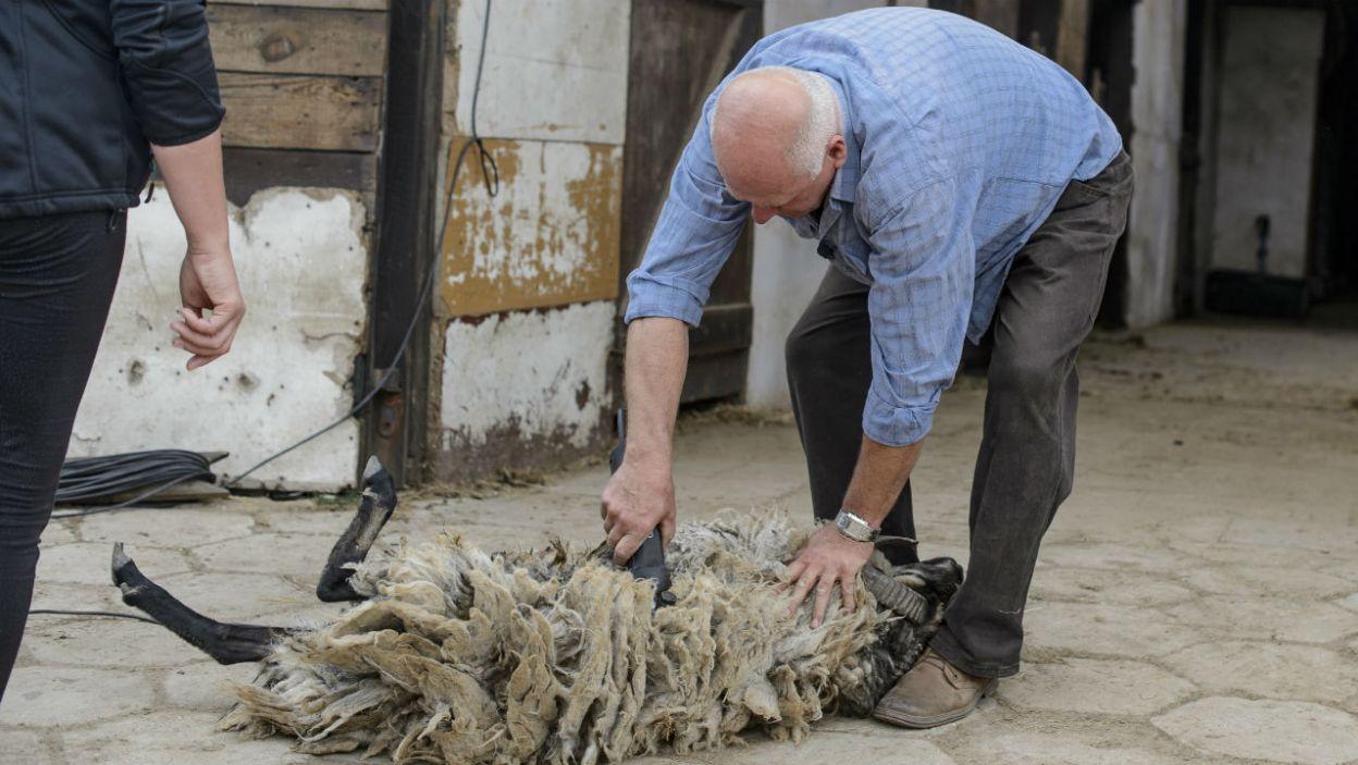 Owieczka jednak pozostała we własnej wełnie. Dlaczego? (fot. TVP)