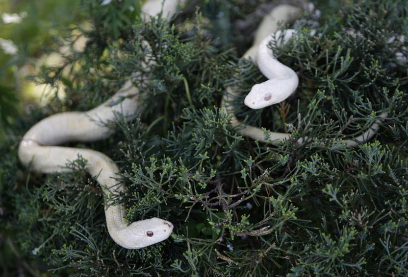 Białe  węże  japońskie (fot.  REUTERS/Toru Hanai)