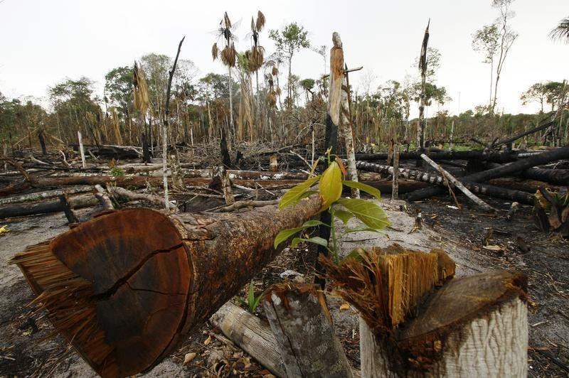 Powalone drzewa w Amazonii (fot. REUTERS/Bruno Kelly-Amazonaspress)