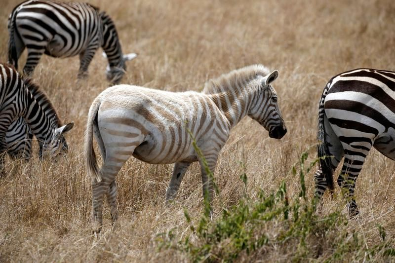 Zebra albinos w kenijskim rezerwacie (fot. REUTERS/Goran Tomasevic)
