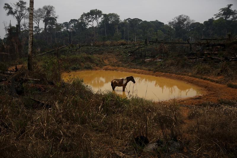 Koń w jeziorze na skraju wycinanego Lasu Narodowego Bom Futuro (fot. REUTERS/Nacho Doce)