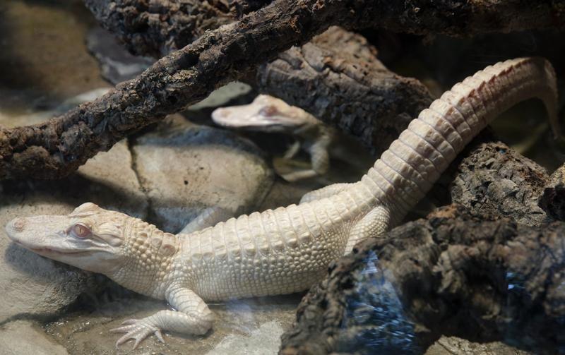 Aligatory albinosy w tropiklanym akwarium (fot. REUTERS/Philippe Wojazer)