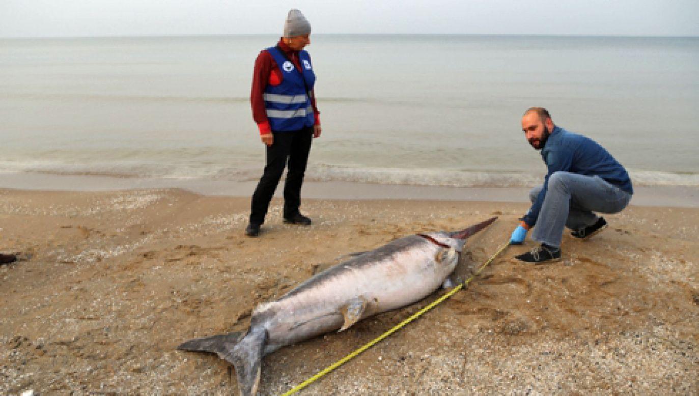 Miecznik został znaleziony na plaży (fot. Facebook/Stacja Morska IO UG w Helu/www.hel.ug.edu.pl)