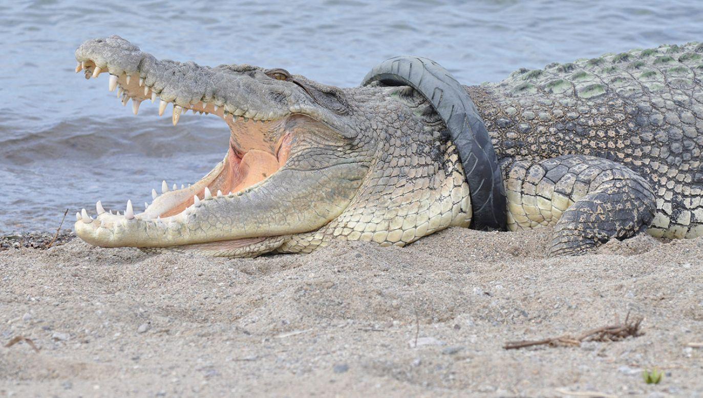 Krokodyl był widziany w gminie Maccarese, w jednym z kanałów, wykorzystywanych przez liczne gospodarstwa rolne (fot. Antara Foto/Mohamad Hamzah/ via REUTERS)