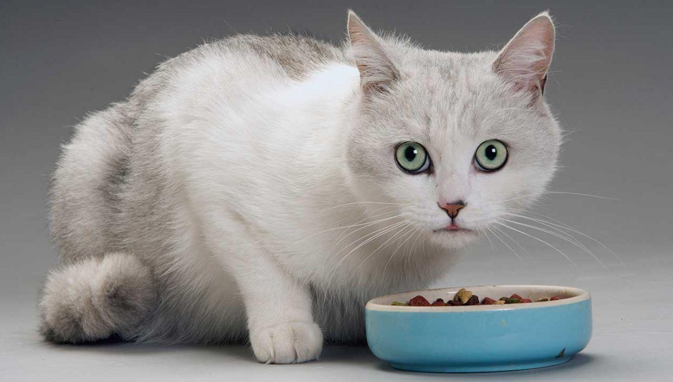 Własnoręcznie robiona karma dla kotów nie musi być lepsza od tych dostępnych na rynku – oceniają naukowcy (fot. Auscape/UIG/Getty Images)