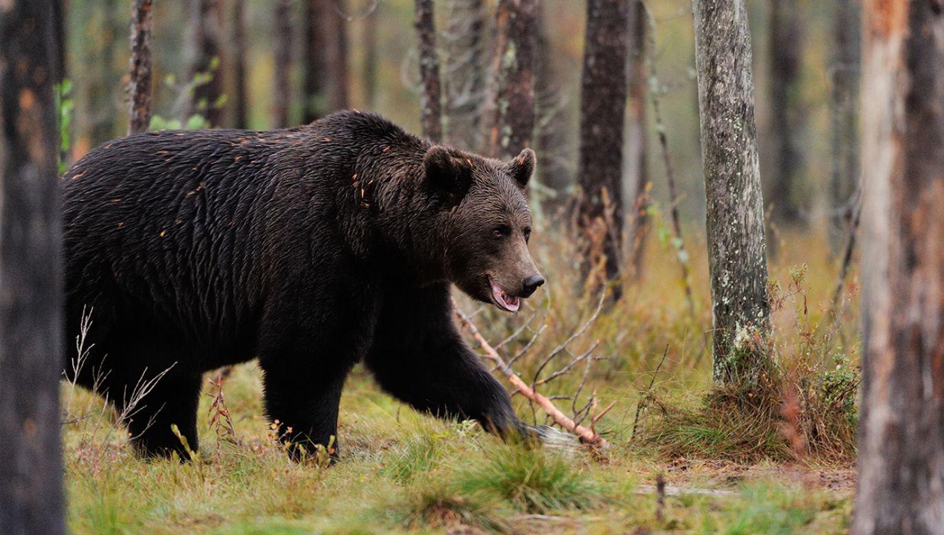 Niedźwiedź brunatny jest największym drapieżnikiem żyjącym w polskich lasach (fot. Shutterstock/Erik Mandre)