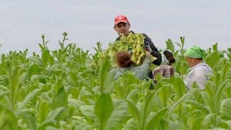 Nowy obowiązek producentów liści tytoniowych. O czym muszą pamiętać?