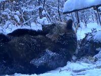 Harce bieszczadzkich niedźwiedzi
