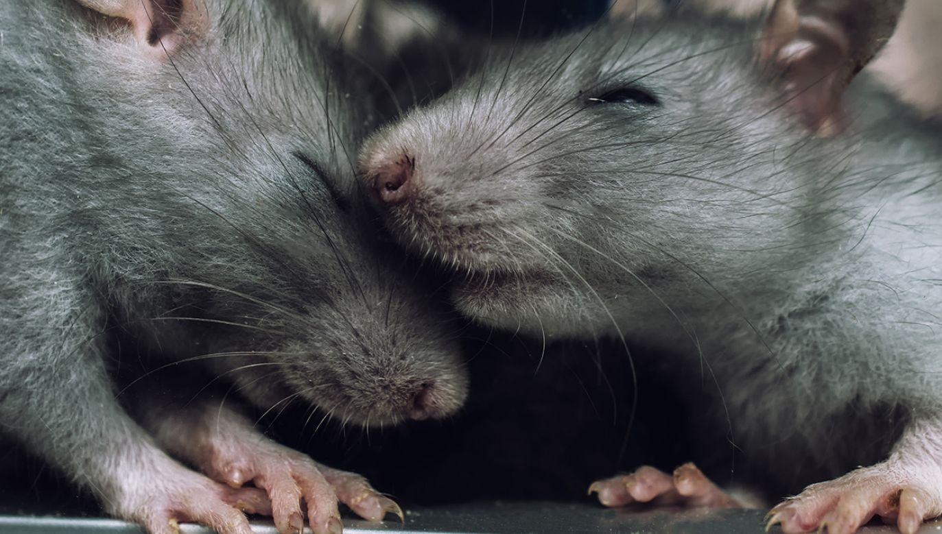 Źródło empatii szczurów mieści się w korze zakrętu obręczy (fot. Shutterstock/Ukki Studio)