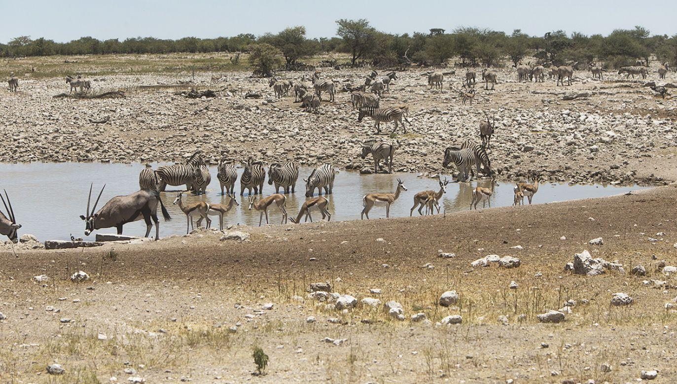Stada zwierząt przy wodopoju w Namibii (fot. Hoberman/UIG via Getty Images)